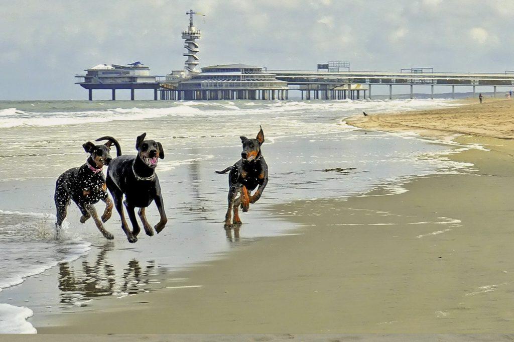 dobermann rm op het strand